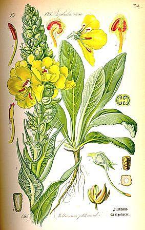 Verbascum phlomoides - molène faux-phlomis 378px-10
