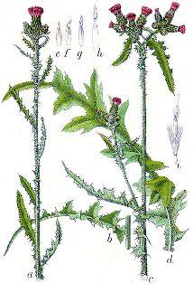 Cirsium palustre - cirse des marais  408px-10