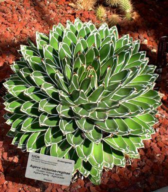 Agave victoriae-reginae - agave de la Reine Victoria 450px-11