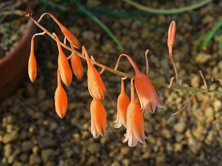 Aloe bellatula  799px-10