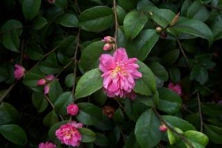 Camellia au fil des saisons Camell11