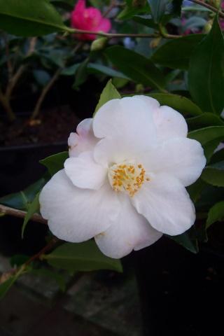 Camellia au fil des saisons Camell12