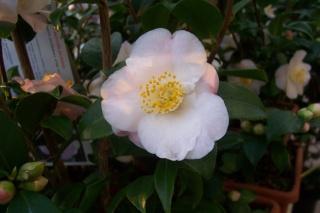 Camellia au fil des saisons Camell13