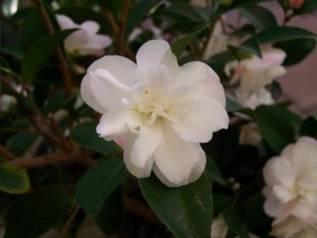 Camellia au fil des saisons Camell14