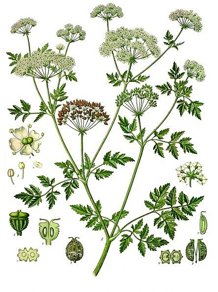 Conium maculatum - grande ciguë Conium10