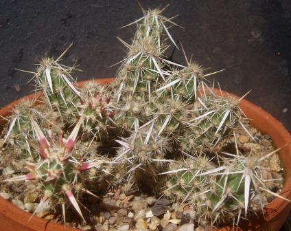 Grusonia clavata 'Roter Neutrieb' Coryno10