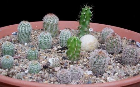 Echinocereus reichenbachii Echino11