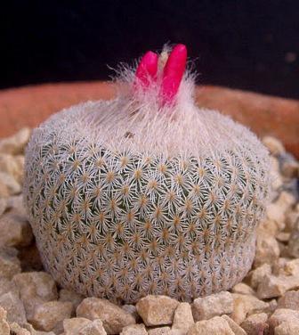 Epithelantha micromeris  Epithe11