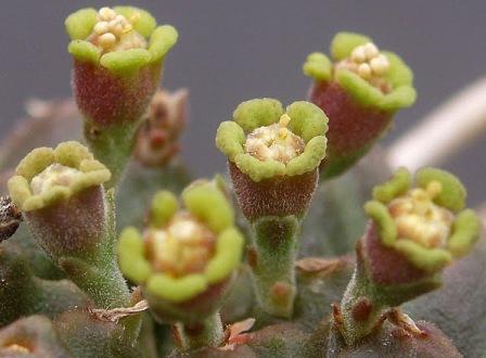 Euphorbia meloformis Euphor11