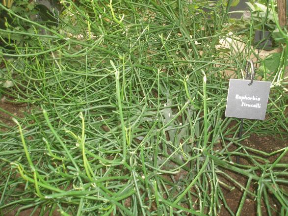 Euphorbia tirucalli Euphor12