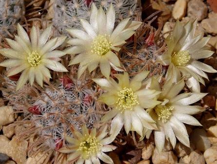 Mammillaria duwei Mammil11