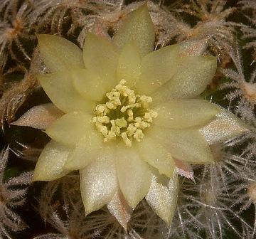 Mammillaria duwei Mammil12
