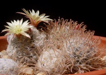 Mammillaria duwei Mammil13