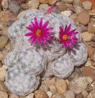 Mammillaria humboldtii Mammil16