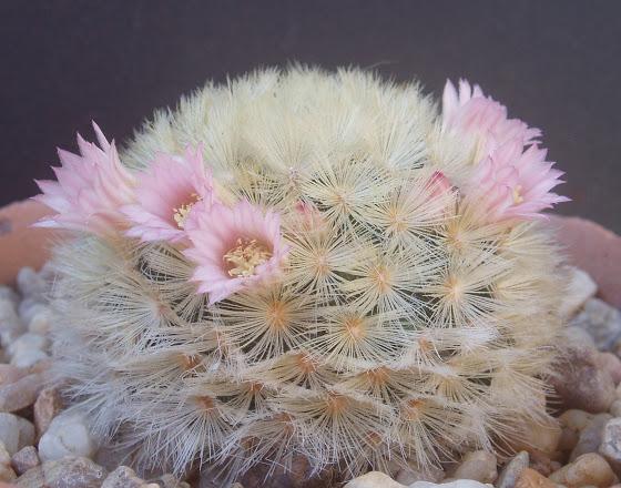 Mammillaria carmenae Mammil18
