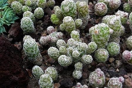 Mammillaria vetula ssp gracilis 'Arizona Snowcap' Mammil24