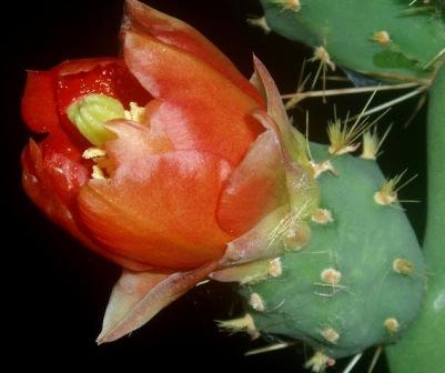 Opuntia bergeriana Opunti12