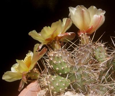 Opuntia fragilis Opunti16