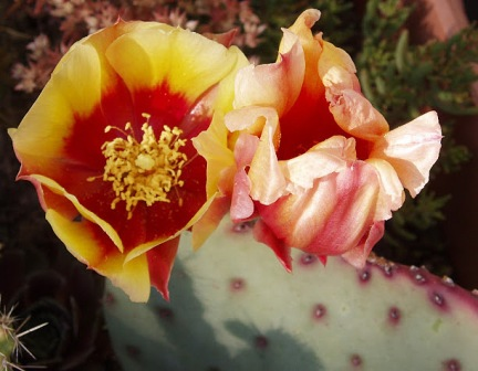 Opuntia macrocentra - violacea Opunti24
