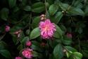 Camellia - choix & conseils de culture Camell11