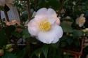 Camellia - choix & conseils de culture Camell13