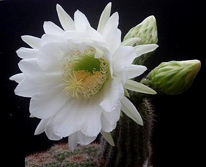 Trichocereus schickendantzii (Echinopsis) Tricho10