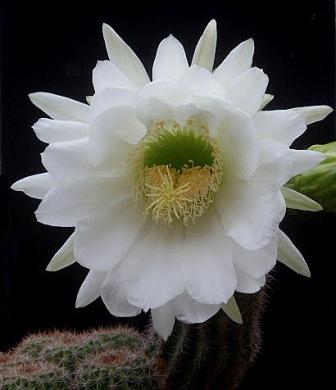 Trichocereus schickendantzii (Echinopsis) Tricho11