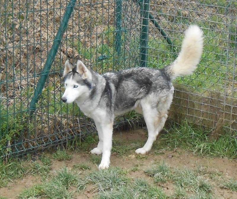ASKA husky (f) douce et affectueuse REF:14 DECEDEE 52538311