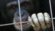 Stop à la maltraitance de ce primate ! Petiti10