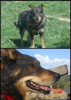 TWEETY berger X husky, née en juin 2001, sportive et joueu  (f ) REFU83 Sans-t10