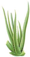 l'aloe vera Aloes10