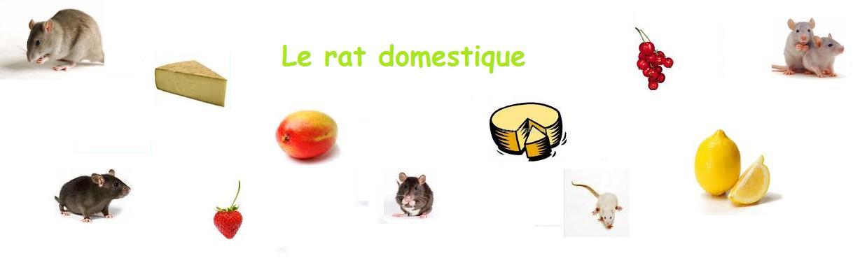 Le rat domestique
