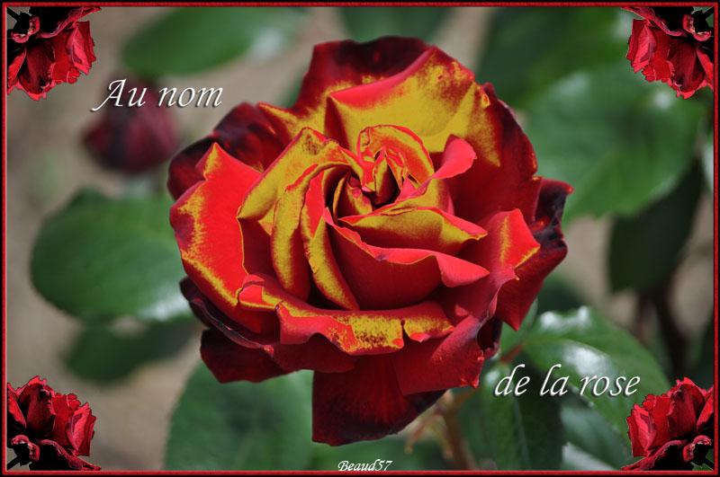 Concours du mois de juin 2010. Thème : Au nom de la rose Rose_r10