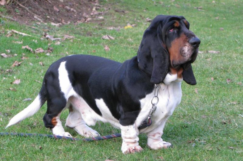 Alfred,basset hound,perdu ou volé 78 Alfred10