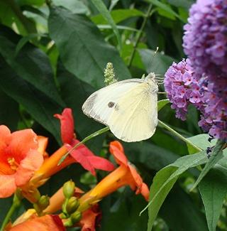 Papillons un peu plus insolites Dsc00211