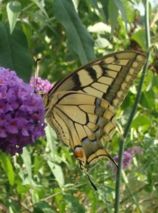 Papillons Dsc00611