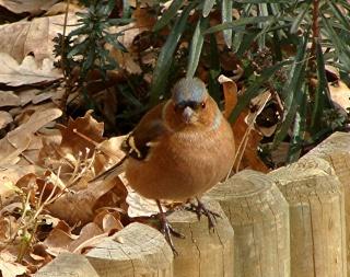 Les oiseaux du jardin (28 espèces d'oiseaux observées pour vous) Dsc02213