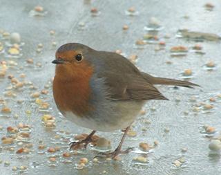 Les oiseaux du jardin (28 espèces d'oiseaux observées pour vous) Dsc02215