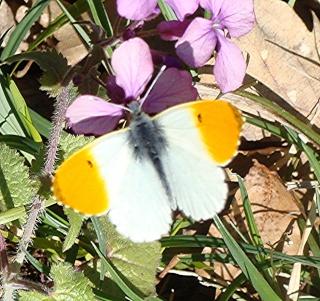 Papillons Dsc02813