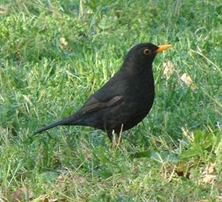 Les oiseaux du jardin (28 espèces d'oiseaux observées pour vous) Dsc02910
