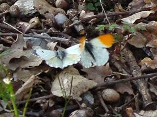 Papillons Dsc02911