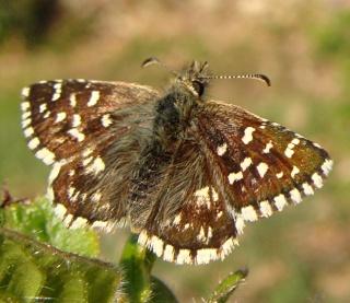 Papillons Dsc03020