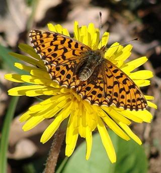 Papillons Dsc03310