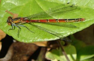 Les libellules / odonates Dsc04617