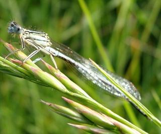 Les libellules / odonates Dsc06312