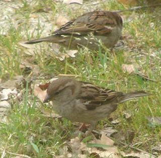 Les oiseaux du jardin (28 espèces d'oiseaux observées pour vous) Dsc06718