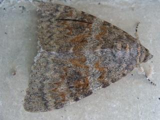 Papillons un peu plus insolites Dsc15710