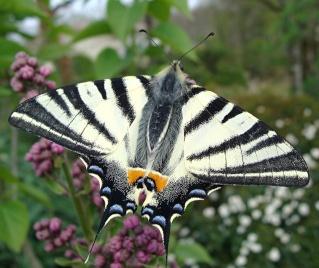 Papillons Flamb11