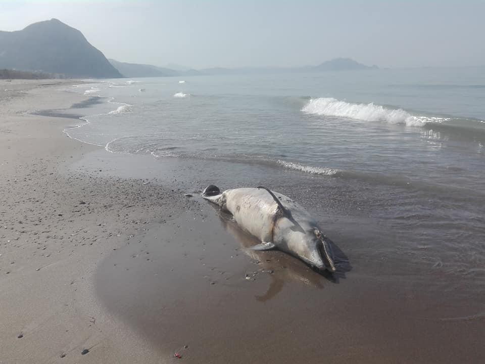 Aokas , lundi 13 Avril 2020: Un dauphin échoue sur l'une des plages d'Aokas 12394