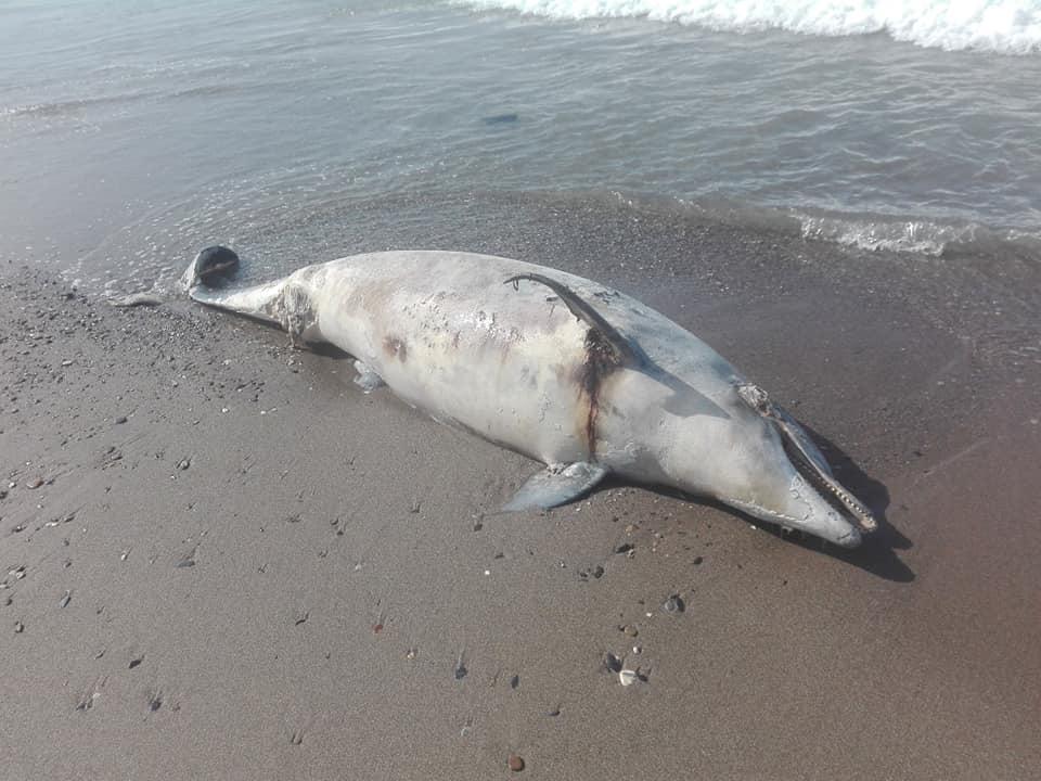 Aokas , lundi 13 Avril 2020: Un dauphin échoue sur l'une des plages d'Aokas 12396